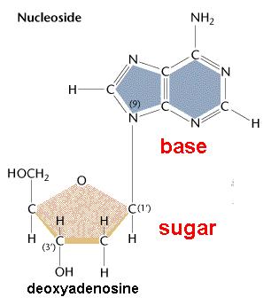 nucleoside